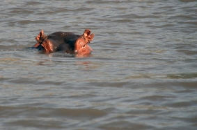 LIVSFARLIGE: Flodhester er blant de dyrene som dreper flest i Afrika.
