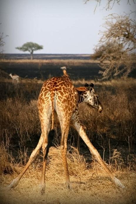 TANZANIA: Safari på bryllupspreise.