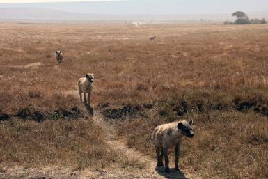 ÅTSEL-KØ: Disse hyenene i Ngorongoro-krateret venter på å slippe til ved matfatet.