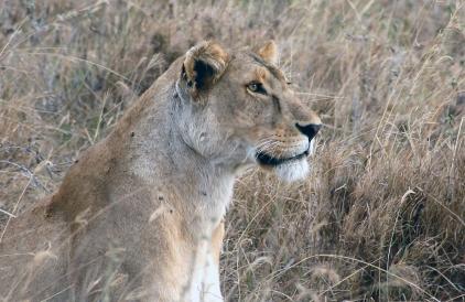 JAKT: Løvene er godt kamuflerte i sivet.