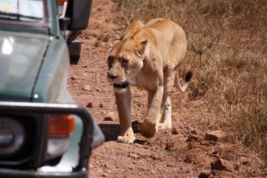 FOLKEVANTE: Løvene i Ngorngoro er ikke redde for biler.